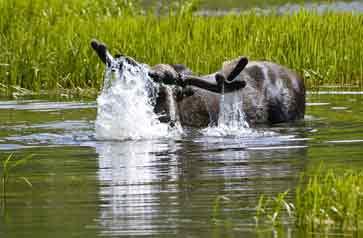 Bull moose in lake