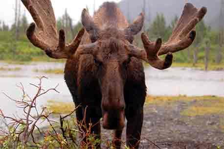 Mature Bull Moose Antlers