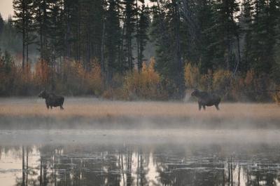 Two Moose in Meadow