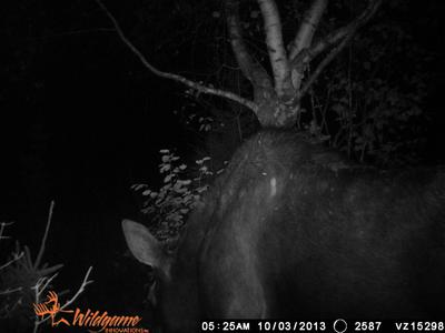 Trail Cam Photo of Cow Moose