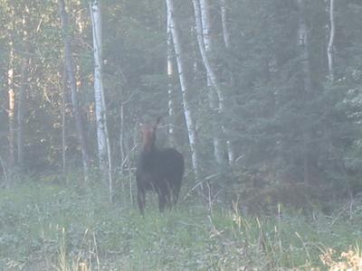 Cow Moose Facing the Camera