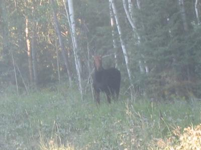 Cow Moose in Northern Ontario