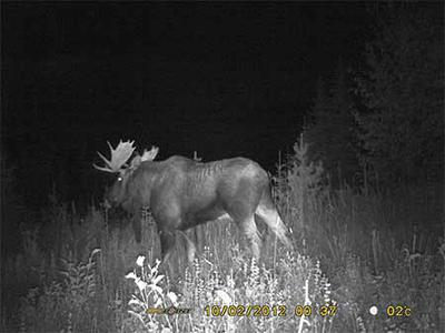 Moose at night!