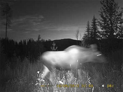 How close is too close to a moose at night?