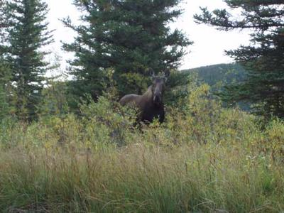 Curious Cow Moose near Yellowknife NWT