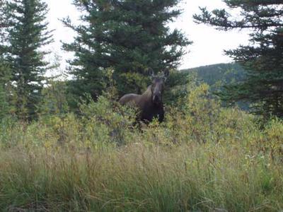 Curious Cow Moose near Yellowknife NWT