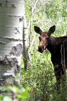 Baby mooose stands near a poplar tree