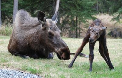 Baby moose standing for the first time... on wobbly legs.