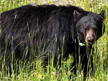 Black Bear Safety