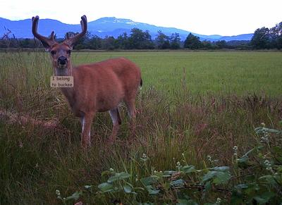 A Very Nice Blacktail Deer