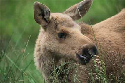 Unusual blonde baby moose