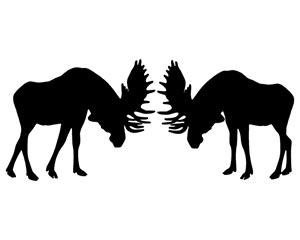 Bull Moose Rut Behavior