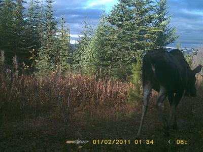 The Cow Moose - easily identified by her white vulva patch