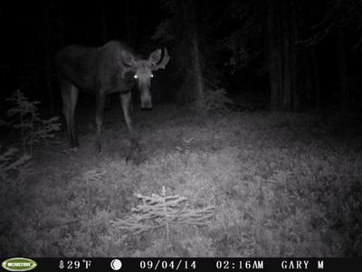 Moose caught on trail camera
