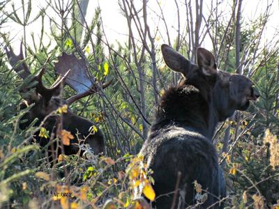 Cow and Bull Moose Together