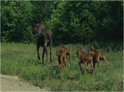 4 calves