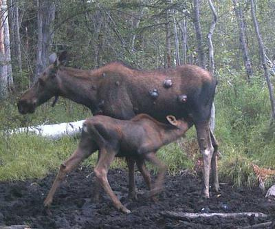 A Cow and Calf Moose with Cysts or Fibromas Tumors