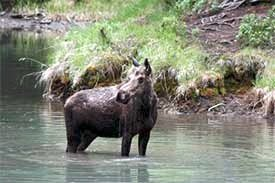 Cow Moose in Pond