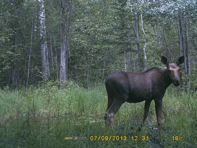 Calf Moose captured with a Spypoint Trail Camera