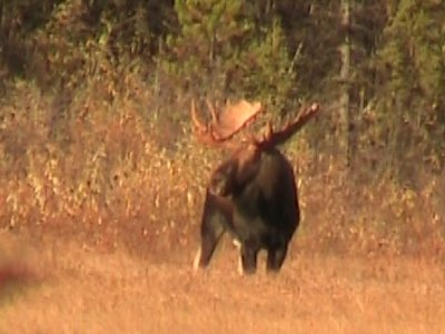 Killing a Trophy Moose?