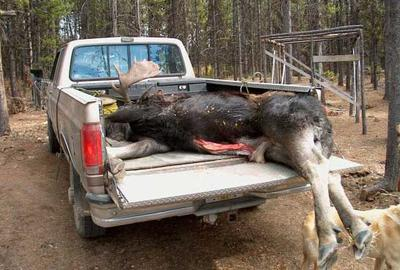 Late Season Moose and Late Skinning