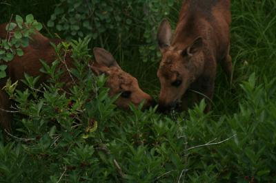 The moose calf twins sharing a meal
