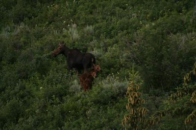 Moose family making their way into the hills