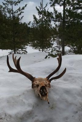 Moose Dead Head with Abnormal Antler Growth - Full View
