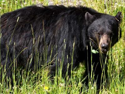 Moose and Bears