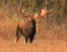 Bull Moose - 50 inch plus mature moose
