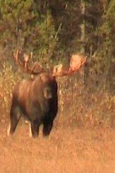 moose fact 50 inch bull moose