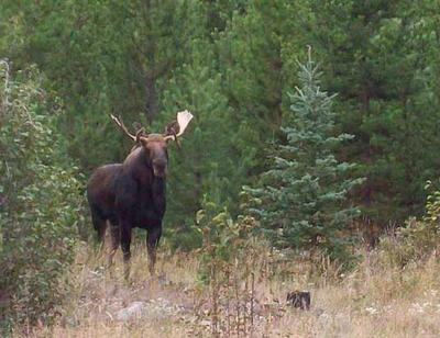 A Double Drop Tine Bull Moose