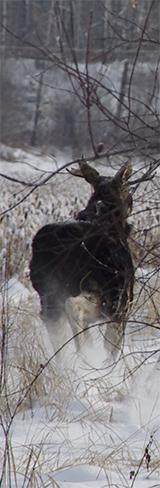 moose field dressing moose running away