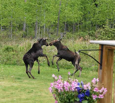 Two Moose Playing