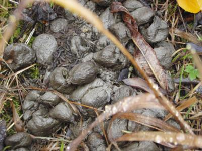 Moose Poop with Mouse Droppings