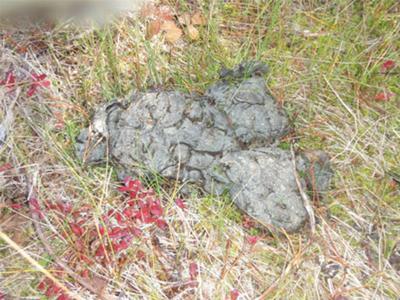 Late Spring or Early Summer Moose Poop
