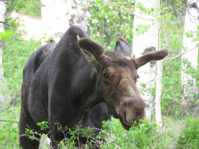 Bull Moose early in the year.<br/><i>Photo by Vickie King</i>