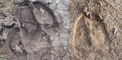 Cattle Track (left), Moose Track (right)