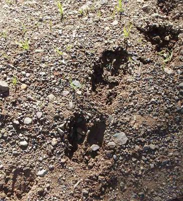 Cow Moose and Calf Moose Tracks