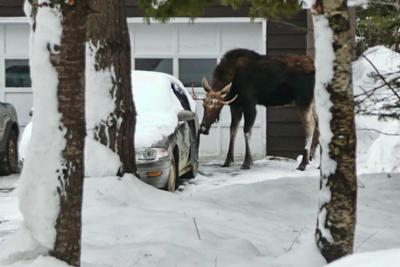 Two Point Bull - Licking Car