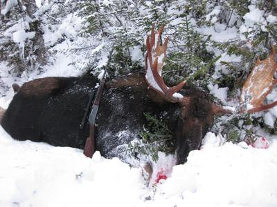 My Biggest Bull Moose