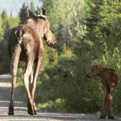 Baby Moose and it's Momma!