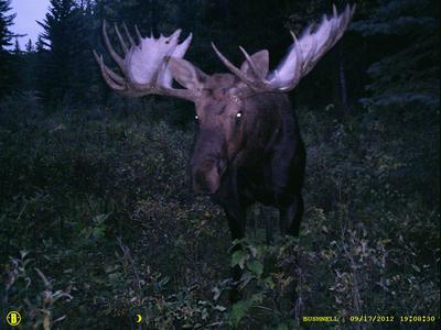 Possible World Record Moose