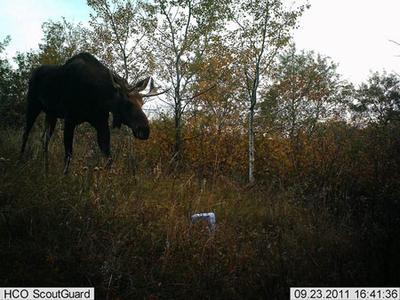 Saskatchewan Three Year Old Moose