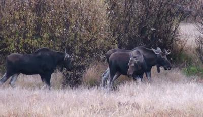 Two Immature Bull Moose with a Cow Moose