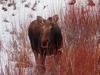 Cow Moose Standing in Red Willows <br/><i>Photo by Laurie M</i>