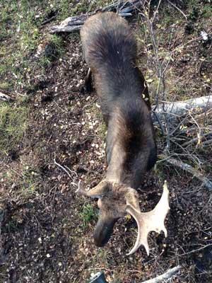 Tree stand moose hunting - Moose Evaluation
