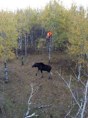 Use a Tree Stand to Hunt Moose