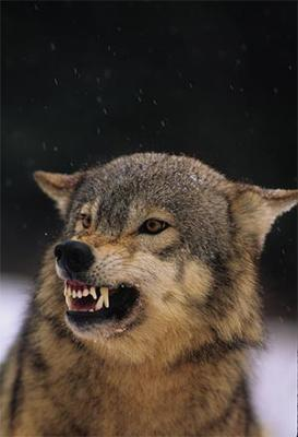 Snarling Gray Wolf - Photo by Twildlife