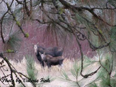 Moose Calf with its Mother